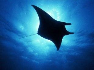 pic-manta-ray-1